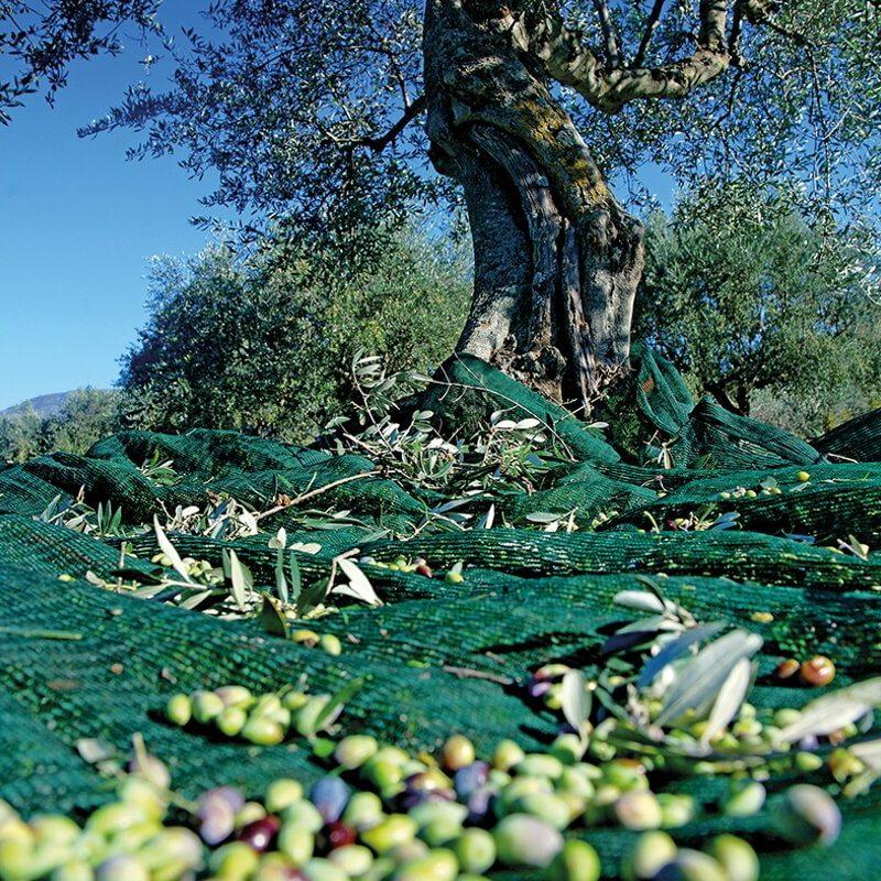 greekponyfarm-olive-tree