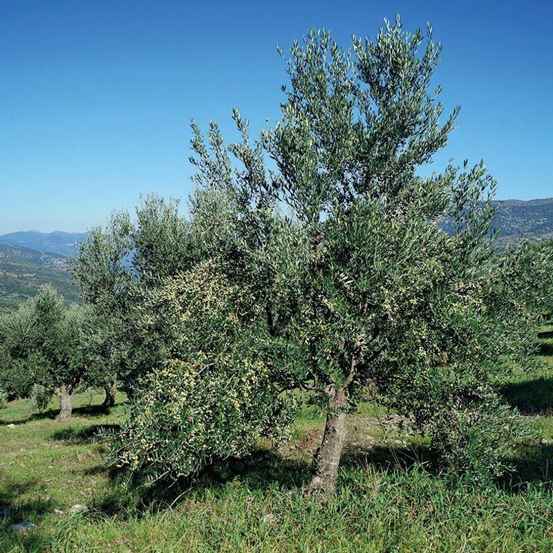 greekponyfarm-trees